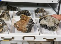 Gray Fossil Site collections
