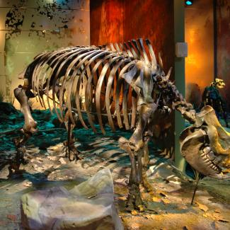 "The cast of ""Little Guy"" (ETMNH 609) mounted on display in the ETSU Museum of Natural History at the Gray Fossil Site. Photo by Steven Wallace."