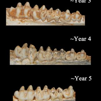 Paleontologists were able to identify the ages of the Bat Cave peccaries based on the development and wear of their teeth