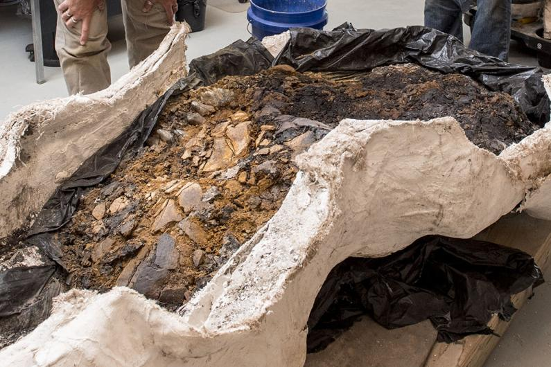 Mastodon skull in plaster jacket from the Gray Fossil Site.